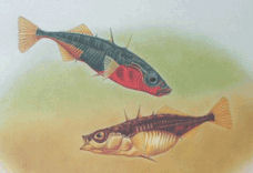 Stickleback Species Pair